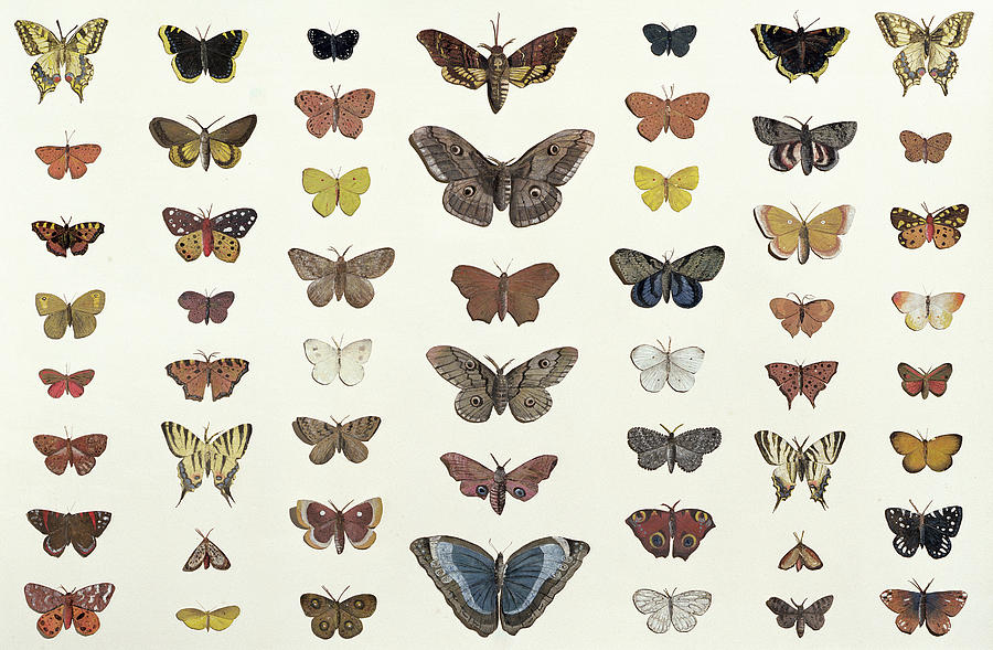 900x589 A Collage Of Butterflies And Moths Drawing By French School