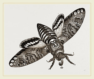 300x254 Deaths Head Hawk Moth Drawing By Litz Collection