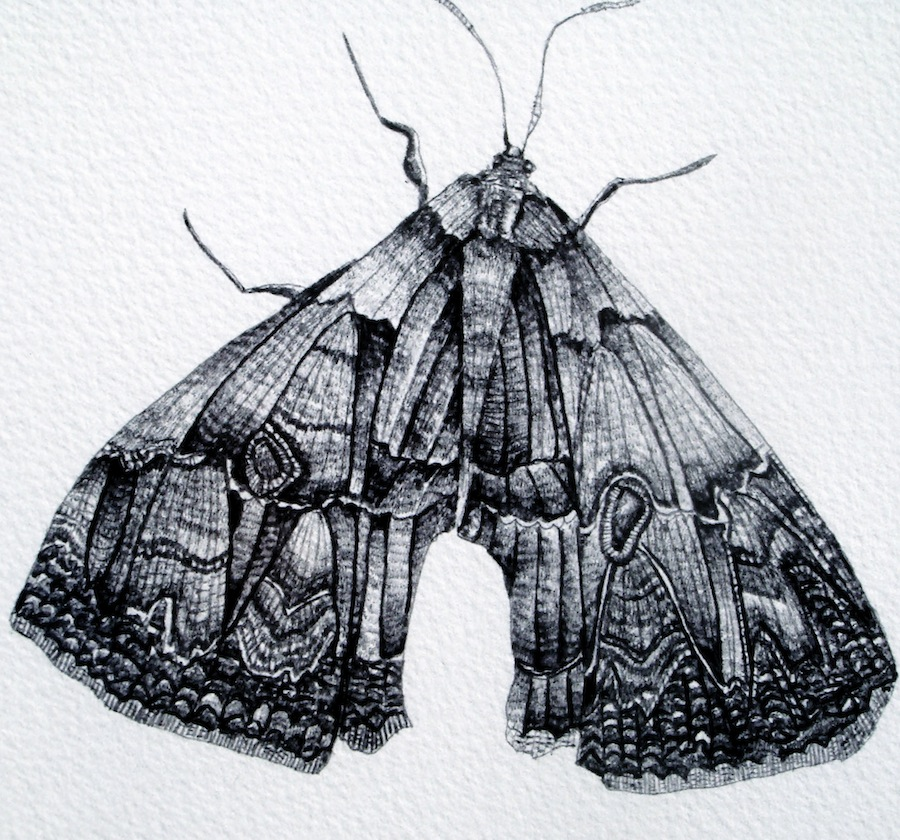 900x840 Detailed Moth Drawing