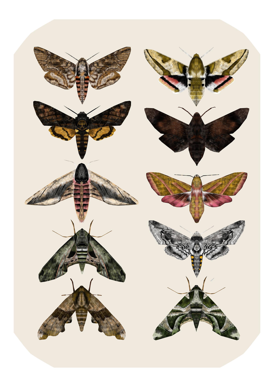 2121x3000 Sphingidae Hawk Moths Moth Illustration Moth Print