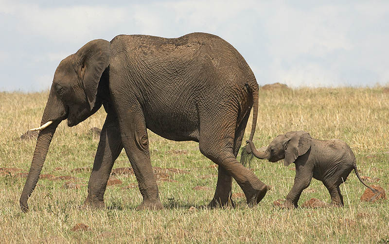800x502 The 35 Cutest Baby Elephants You Will See Today