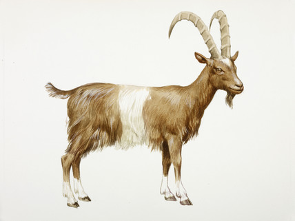 428x321 A Reconstruction Drawing Of A Neolithic Goat By Derek Lucas