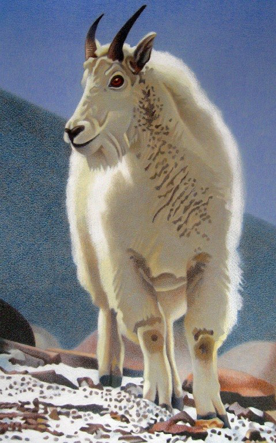 561x900 Impression Evergreen Rocky Mountain Goat