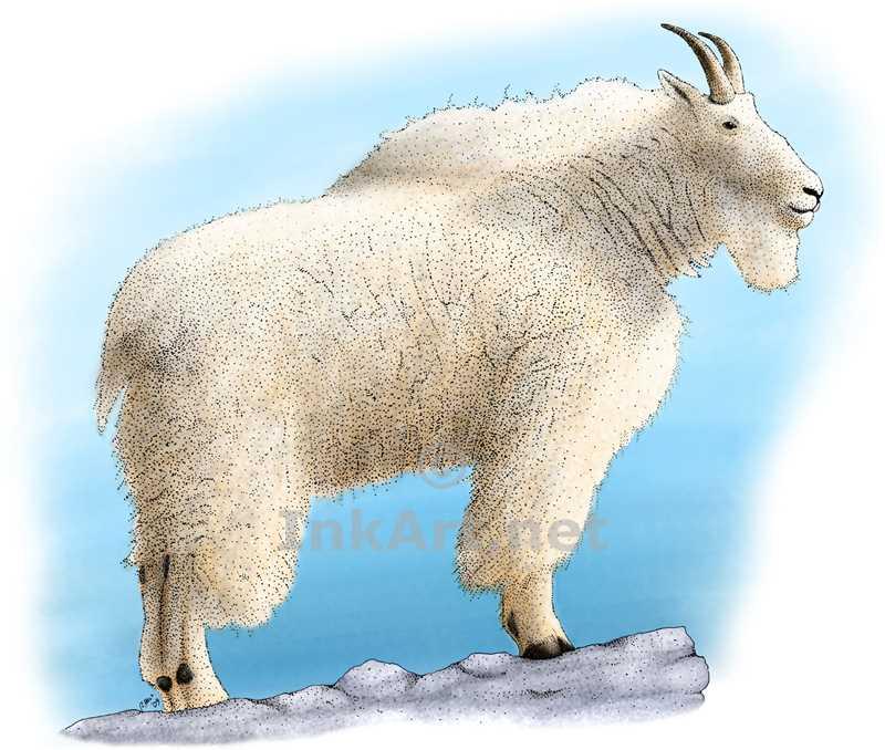 800x678 Rocky Mountain Goat Stock Art Illustration