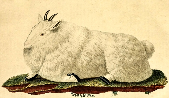 650x379 White Mountain Goat Drawing From 1822