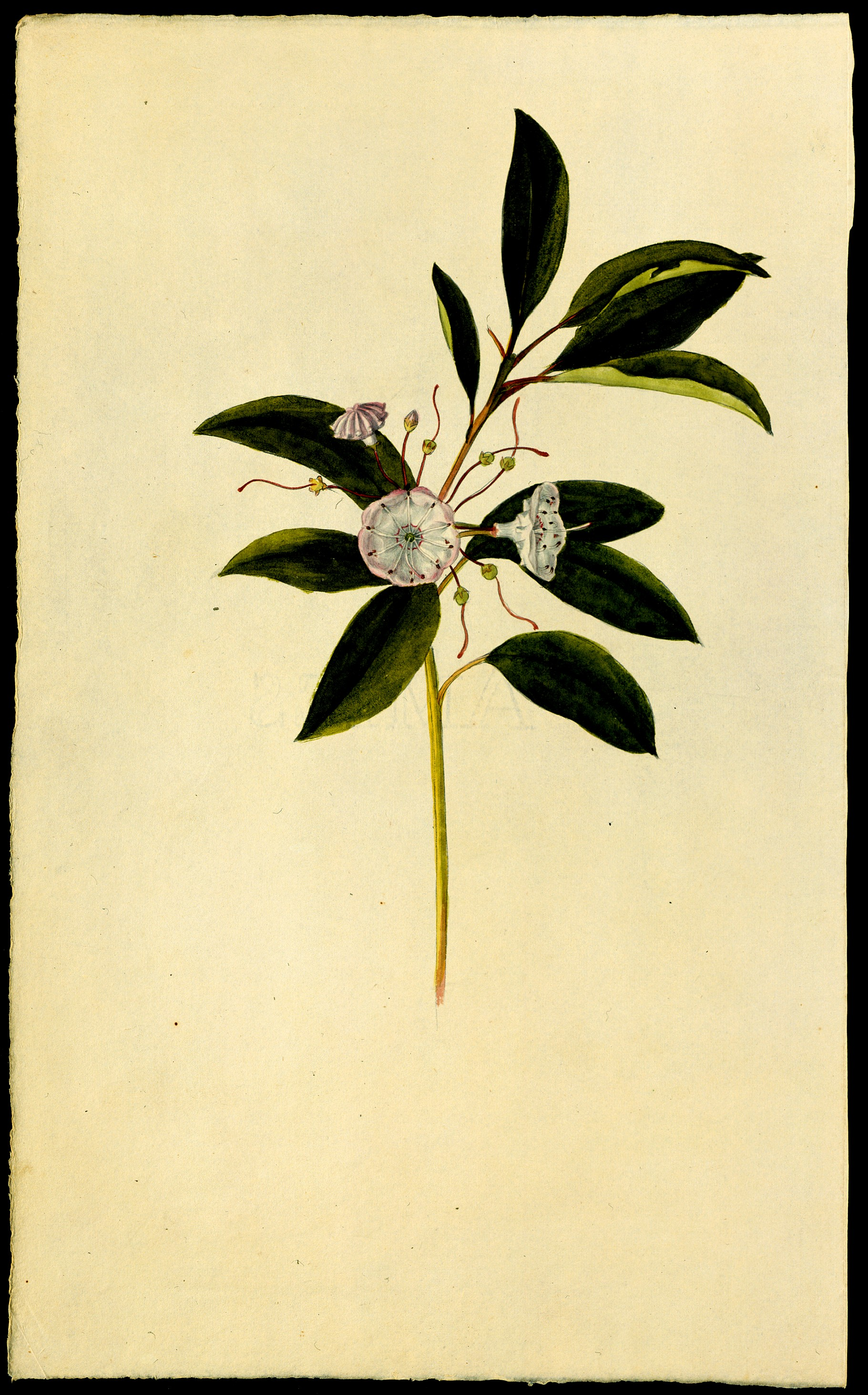 1821x2924 Frederick Pursh, Mountain Laurel [Plate 14, Catalogue] From Flora