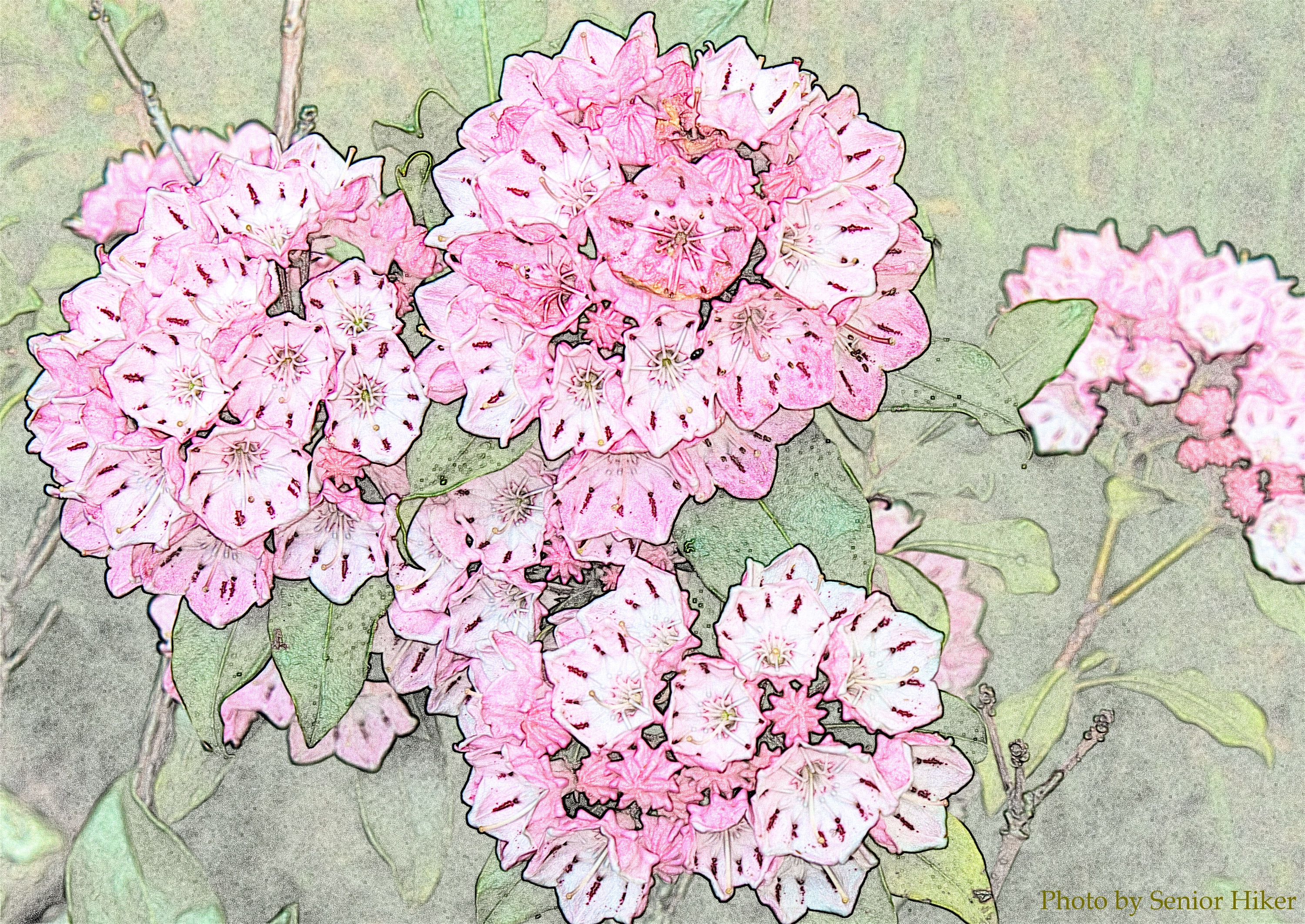 3000x2125 Mountain Laurel Photos And Drawings By Senior Hiker