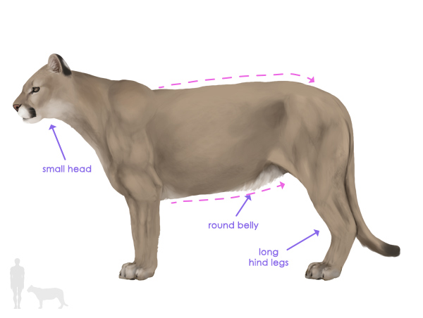 Mountain Lion Drawing at GetDrawings.com | Free for personal use ...