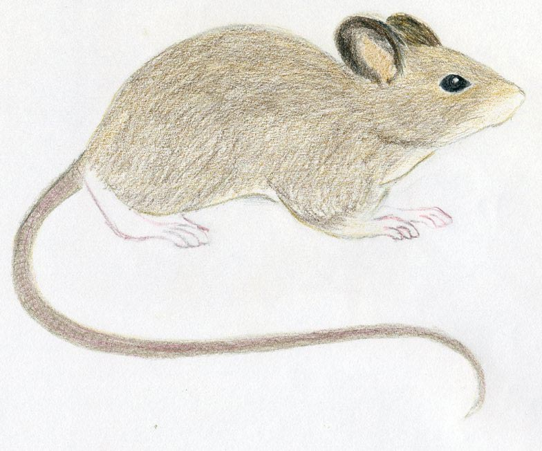 784x652 How To Draw A Mouse