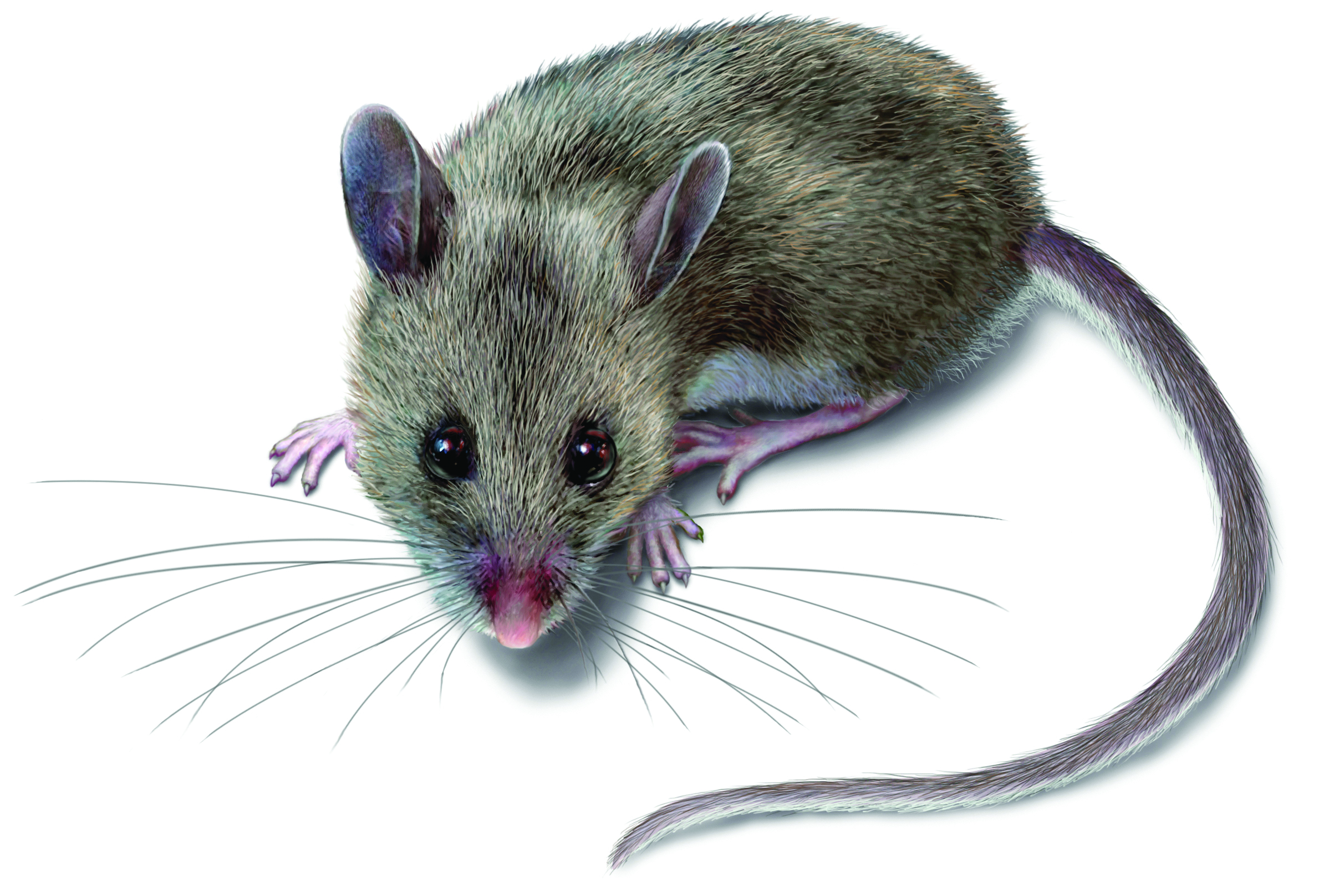 2388x1617 Rodent Pictures Rat Amp Mouse Photos Amp Images