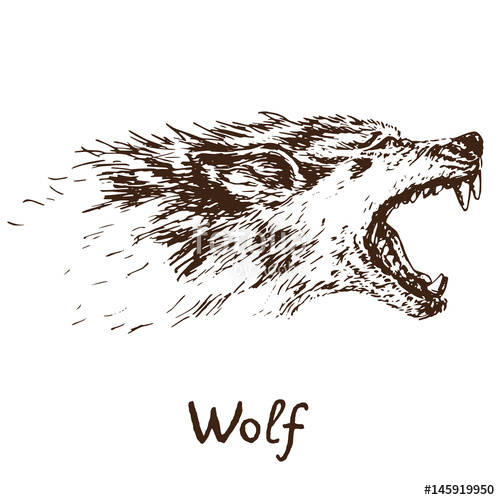 500x500 Gray Wolf (Timber Wolf Or Western Wolf) Howling Face, Open Mouth
