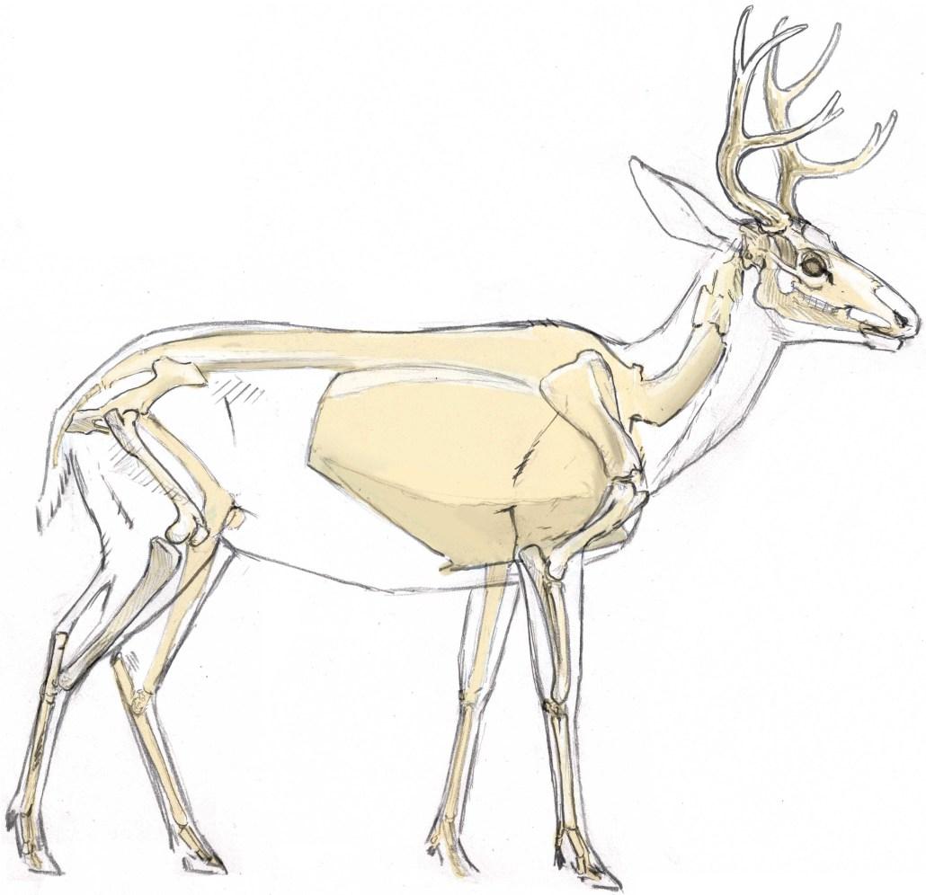 Mule Deer Skull Drawing at GetDrawings.com | Free for personal use ...