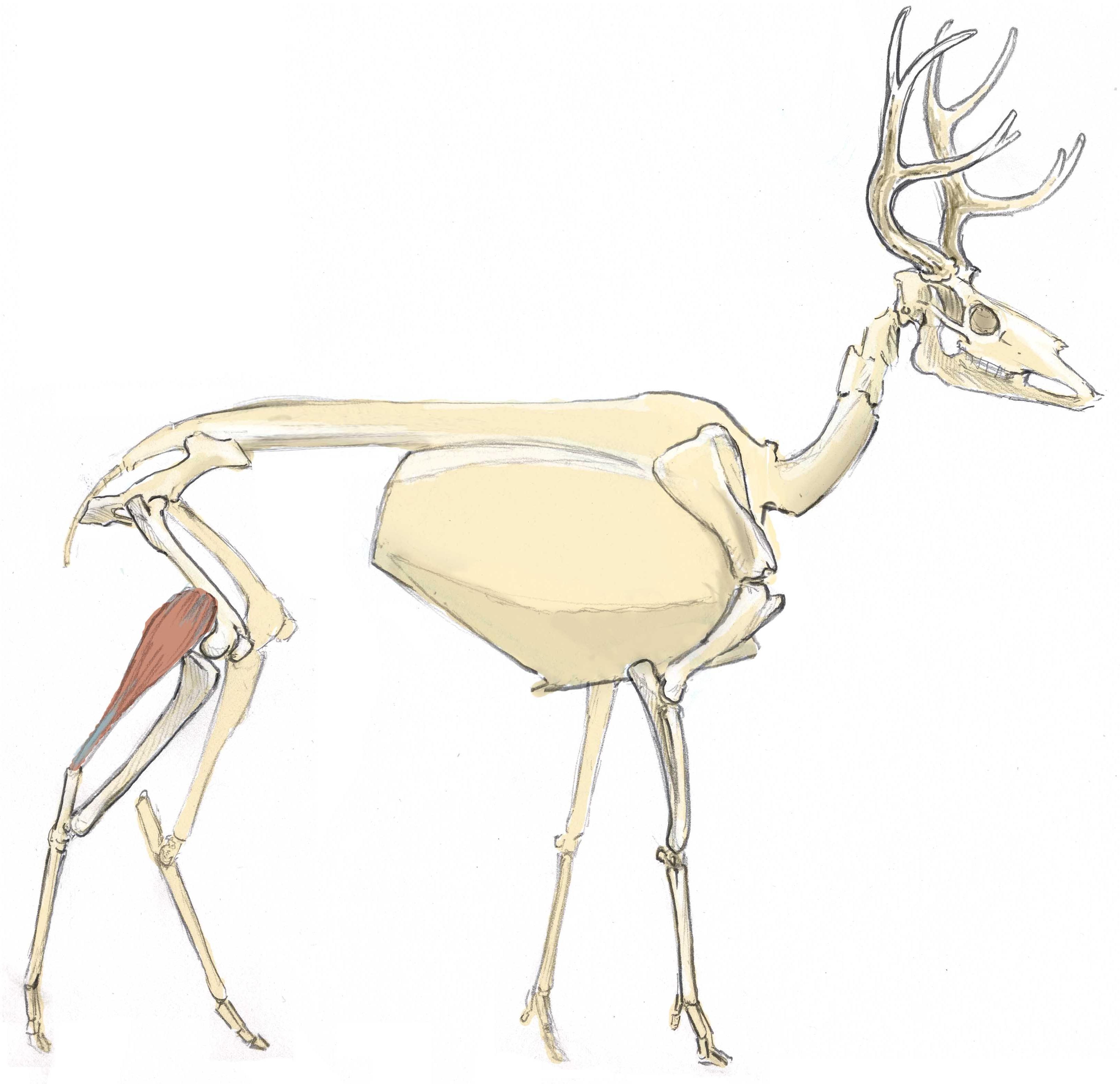 Mule Deer Skull Drawing At Getdrawings Free For Personal Use