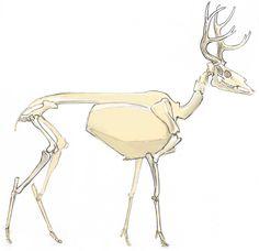 236x228 Mule Deer Skeleton 2 Mule Deer Reference Mammals