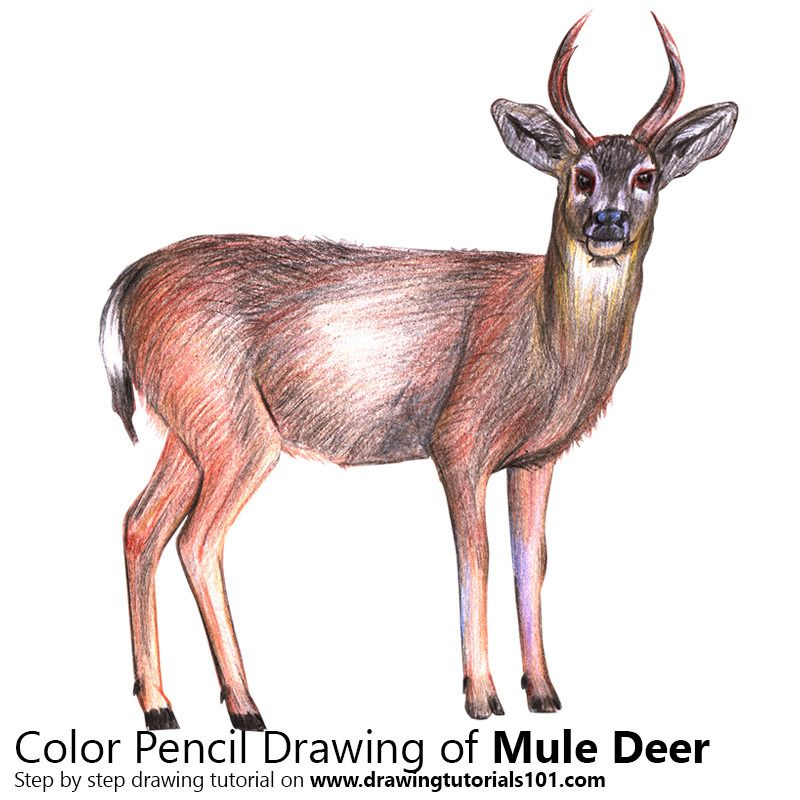 800x800 Mule Deer With Color Pencils [Time Lapse] Drawing Tutorials