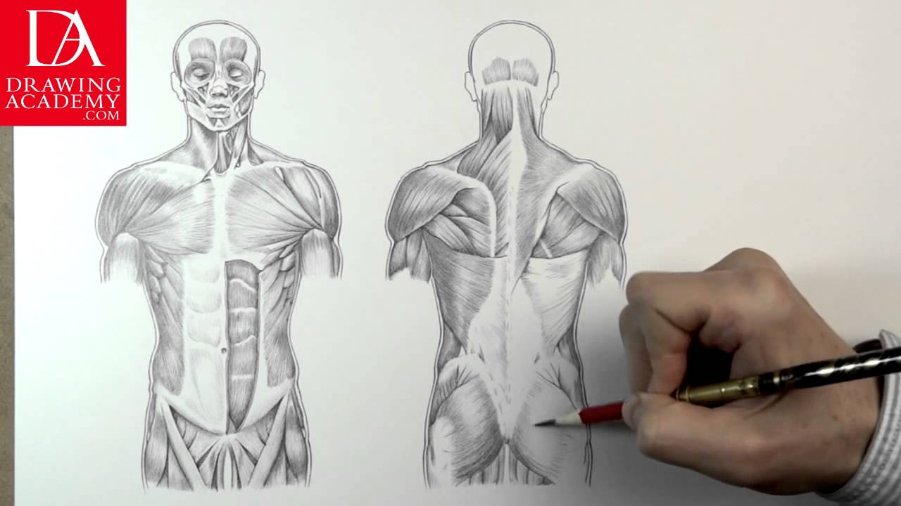 1280x720 Muscles In Human Body Presented By Drawing Academy Com 31 2