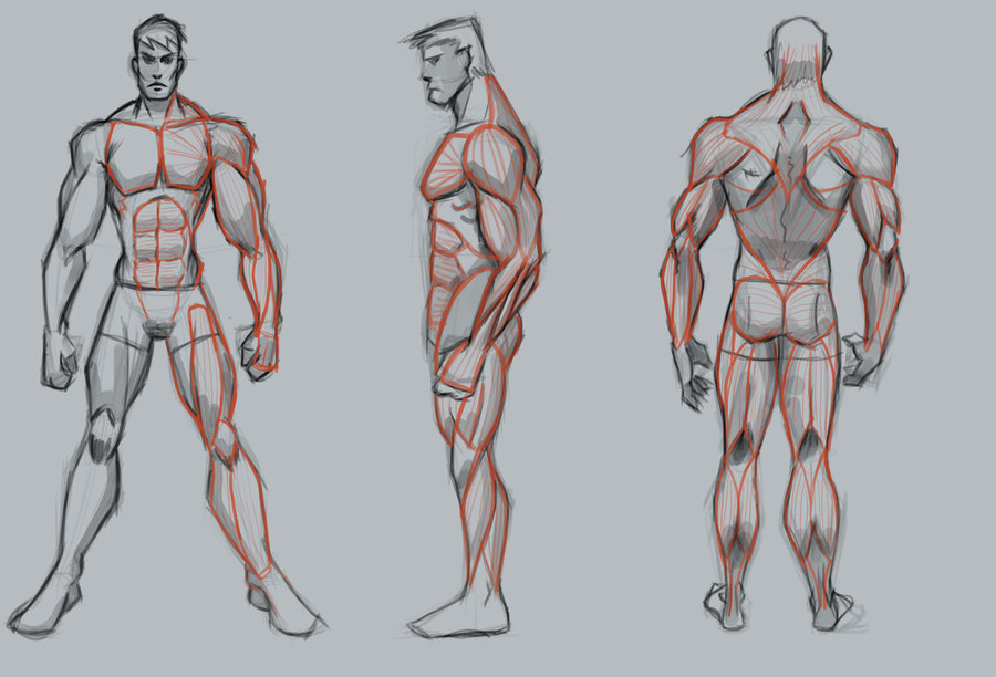 900x612 Male muscle study basic by WackoShirow on DeviantArt