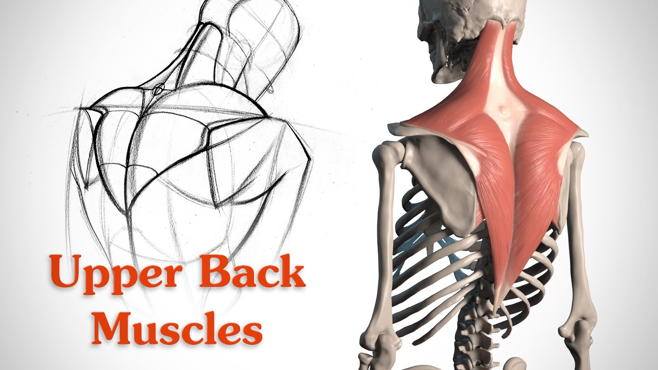 1280x720 How To Draw The Upper Back Muscles