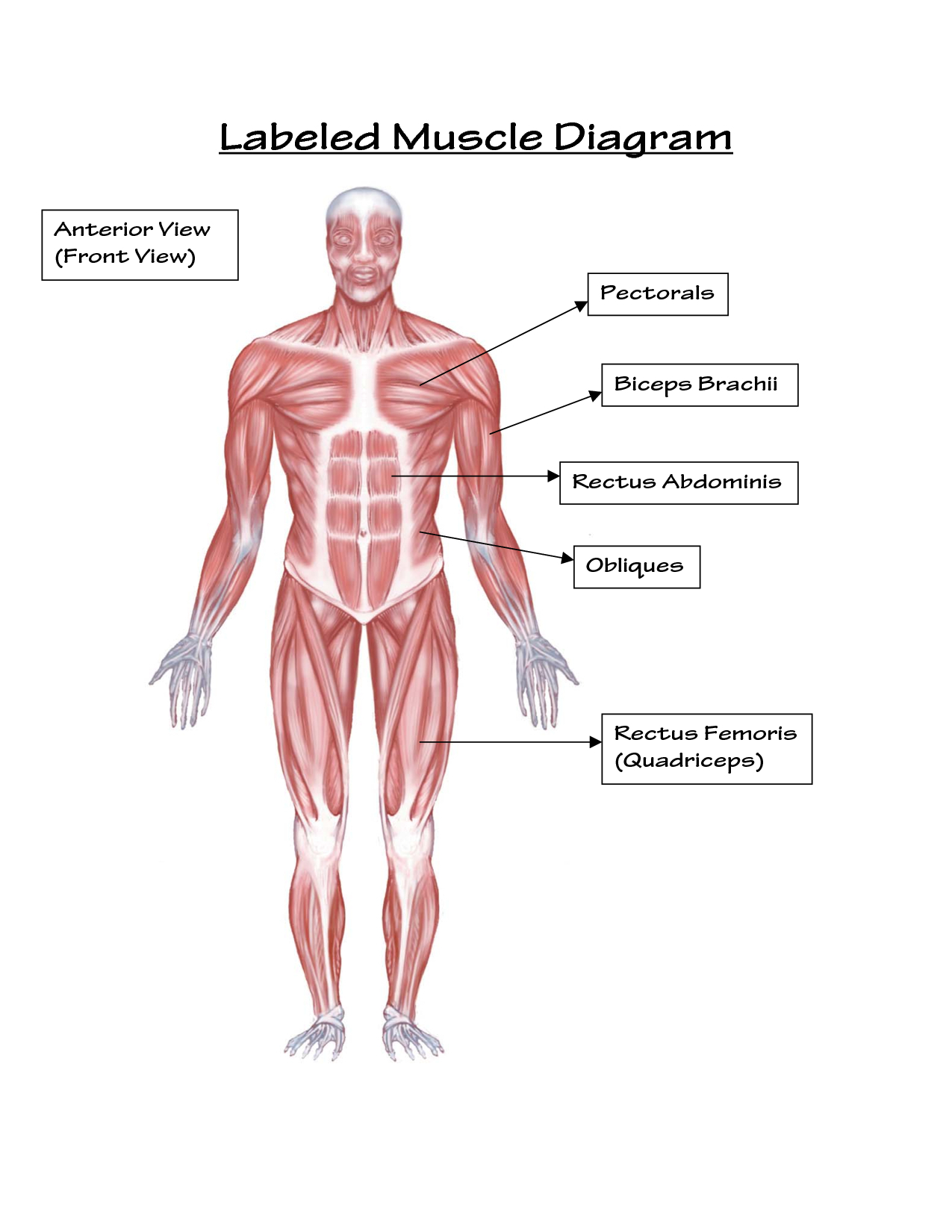 Muscular System Drawing At Getdrawings Free For Personal Use