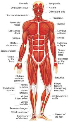 236x418 Muscular System. Over 700 Muscles Move The Skeleton And Help It