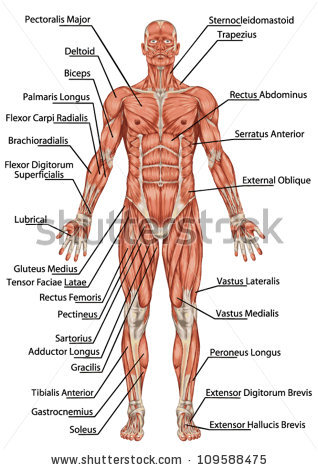 Muscular System Drawing at GetDrawings.com | Free for personal use ...