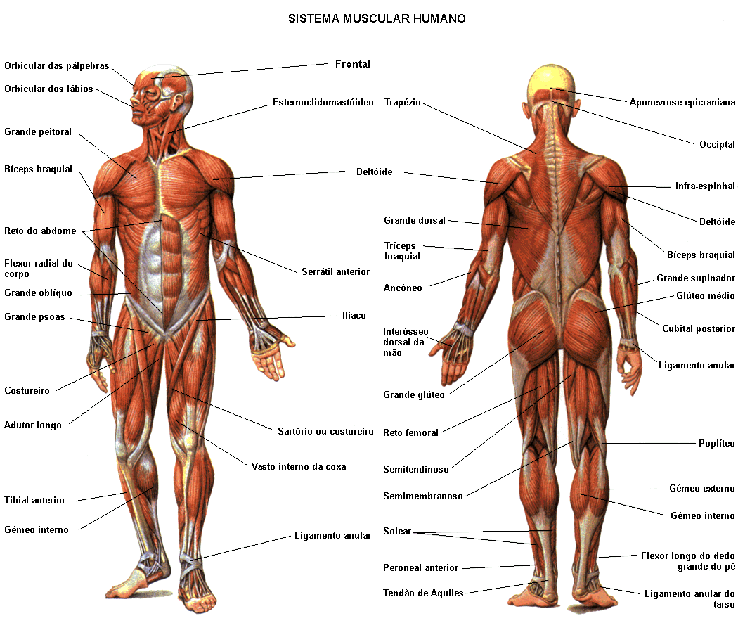 1050x913 Muscle Diagram 01 Medical And Therapy Diagram