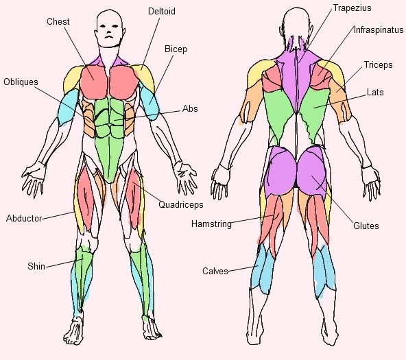 592x525 Muscular System For Kids