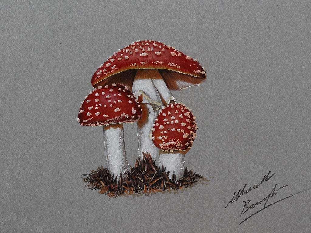 1024x768 Mushrooms Drawing By Marcello Barenghi By Marcellobarenghi