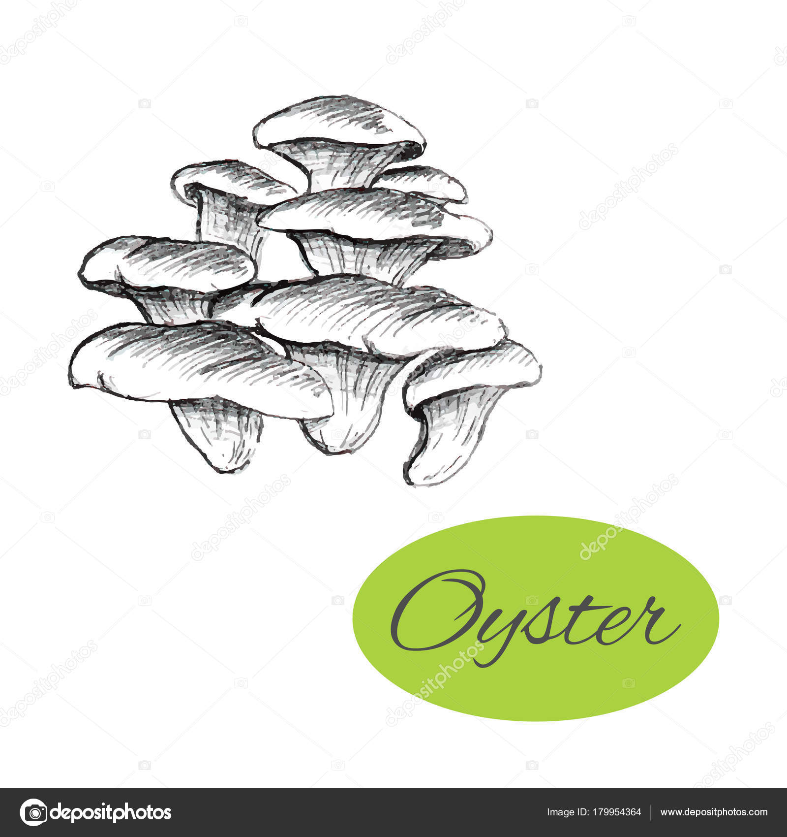 1600x1700 Oyster Mushrooms Drawing Stock Vector Your Solution