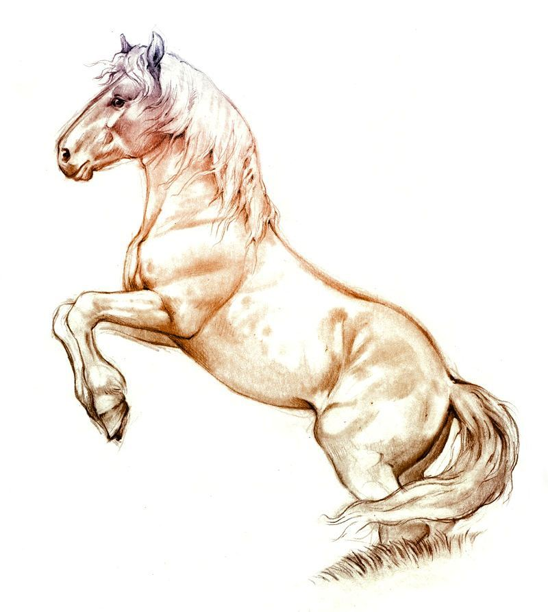 800x893 Noriker Horse Sketch.