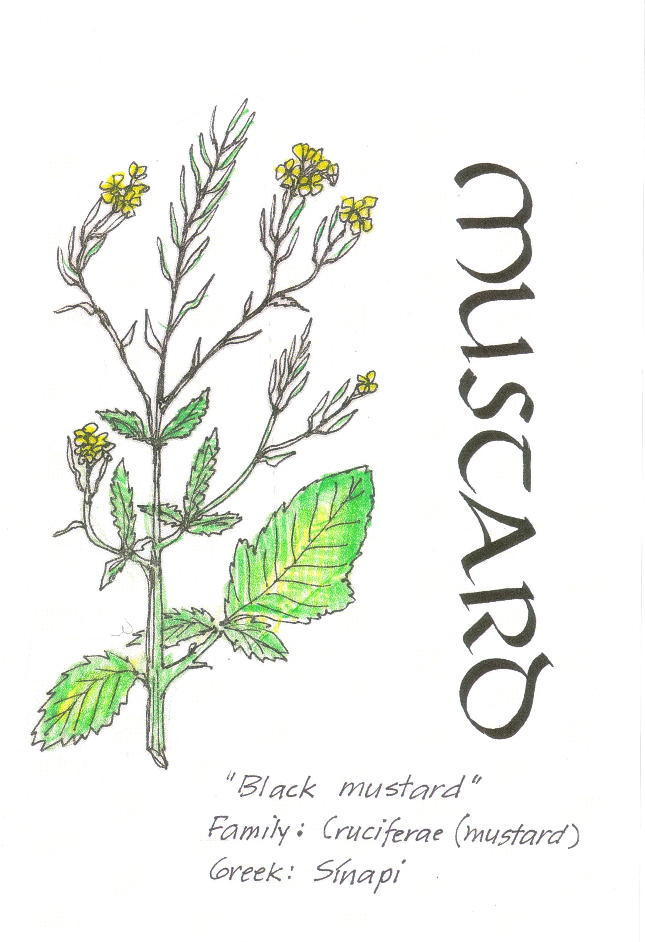 2461x3594 Filemustard Plant Mm.jpg