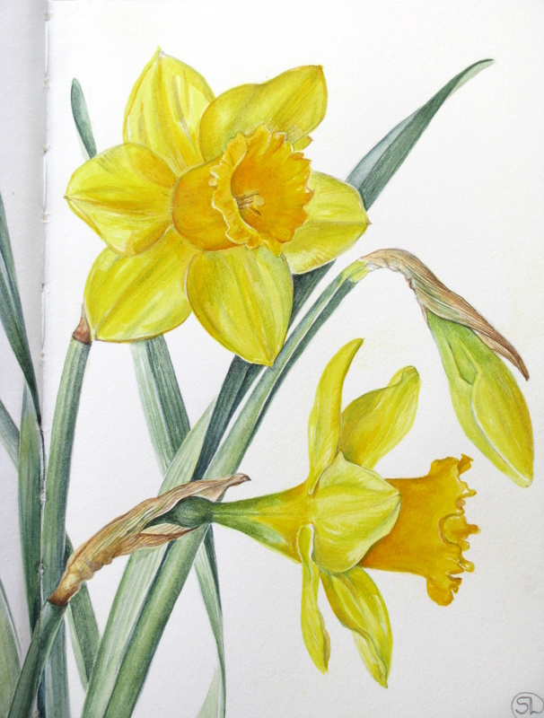 606x800 Botanical Sketches And Other Stories Daffodil Days
