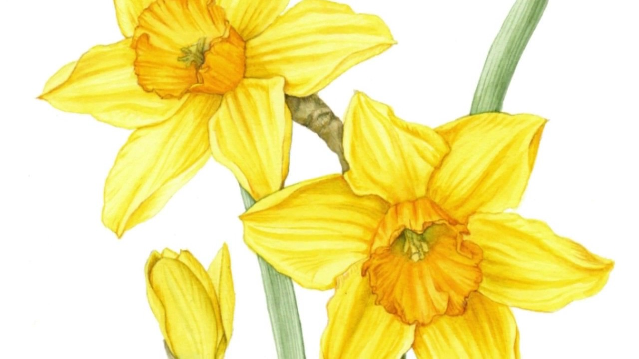 1280x720 Drawing Daffodils
