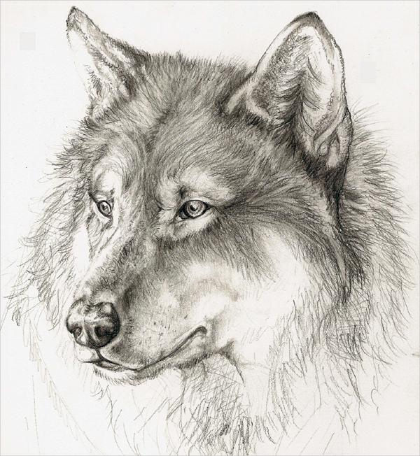 600x652 Pencil Drawing Of A Wolf Drawn Wolf Pencil Sketch Pencil And