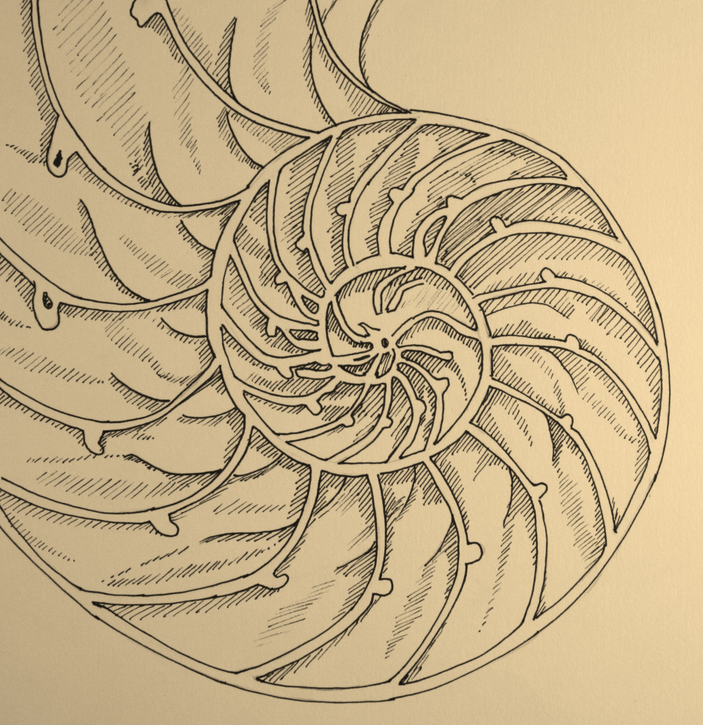 Nautilus Shell Drawing At Getdrawings Com Free For