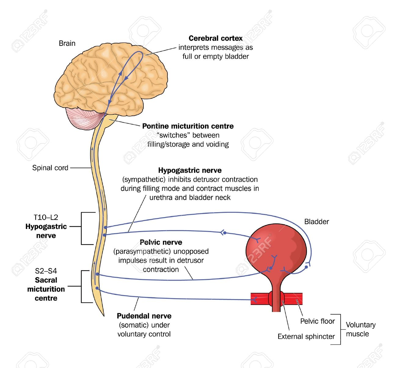 1300x1207 Drawing To Show Nervous Control Of Urinary Bladder Viw