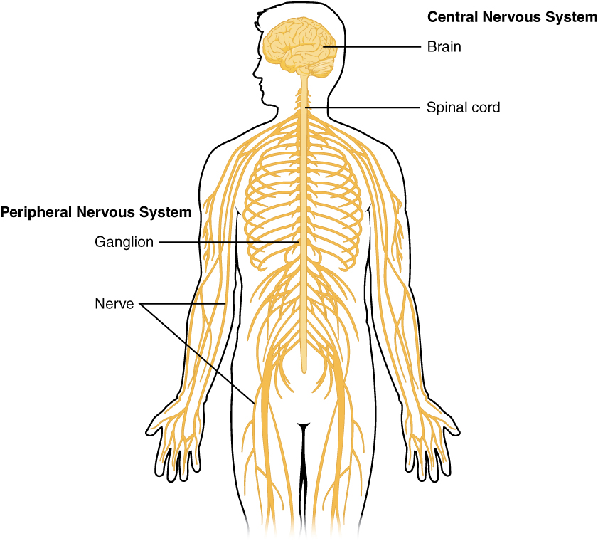 841x760 Basic Structure And Function Of The Nervous System