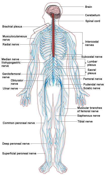 Nervous system drawing at getdrawings free for personal use 421x695 filenervous system diagramg ccuart Choice Image