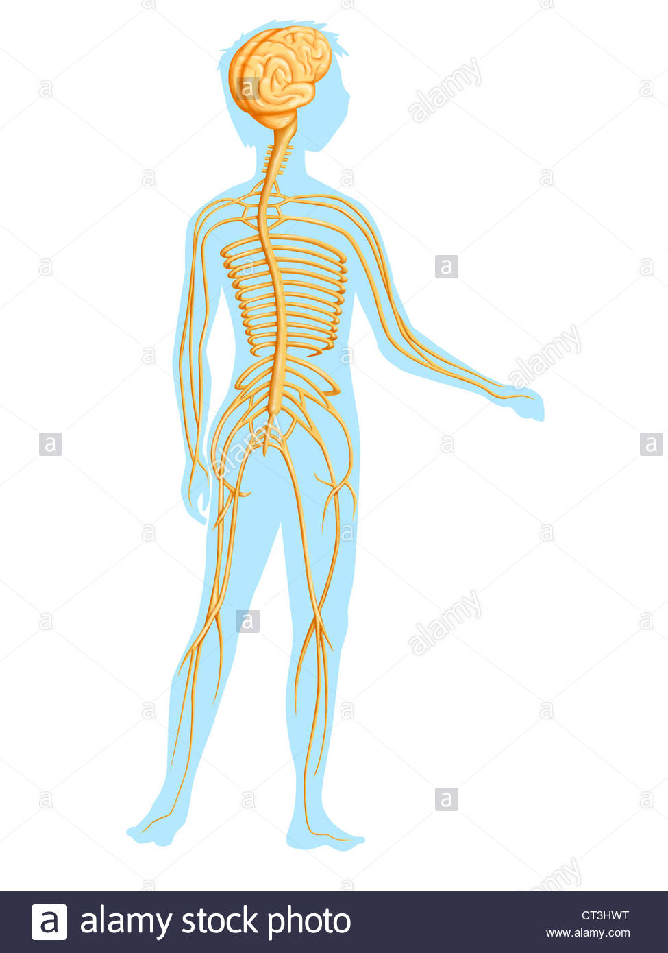 975x1390 Nervous System, Drawing Stock Photo 49252388