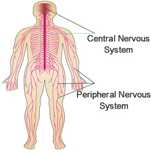 300x304 Nervous System Diagrams, Functions, Structure Central Nervous