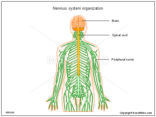 500x375 Nervous System Organization Illustrations