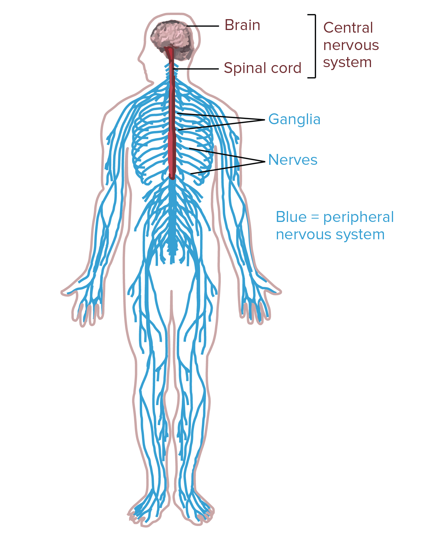 Nervous System Drawing at GetDrawings.com | Free for personal use ...