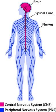 195x385 Diagram Of The Nervous System For Kids Nervous System