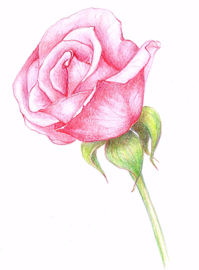 660x893 35 Beautiful Flower Drawings And Realistic Color Pencil Drawings