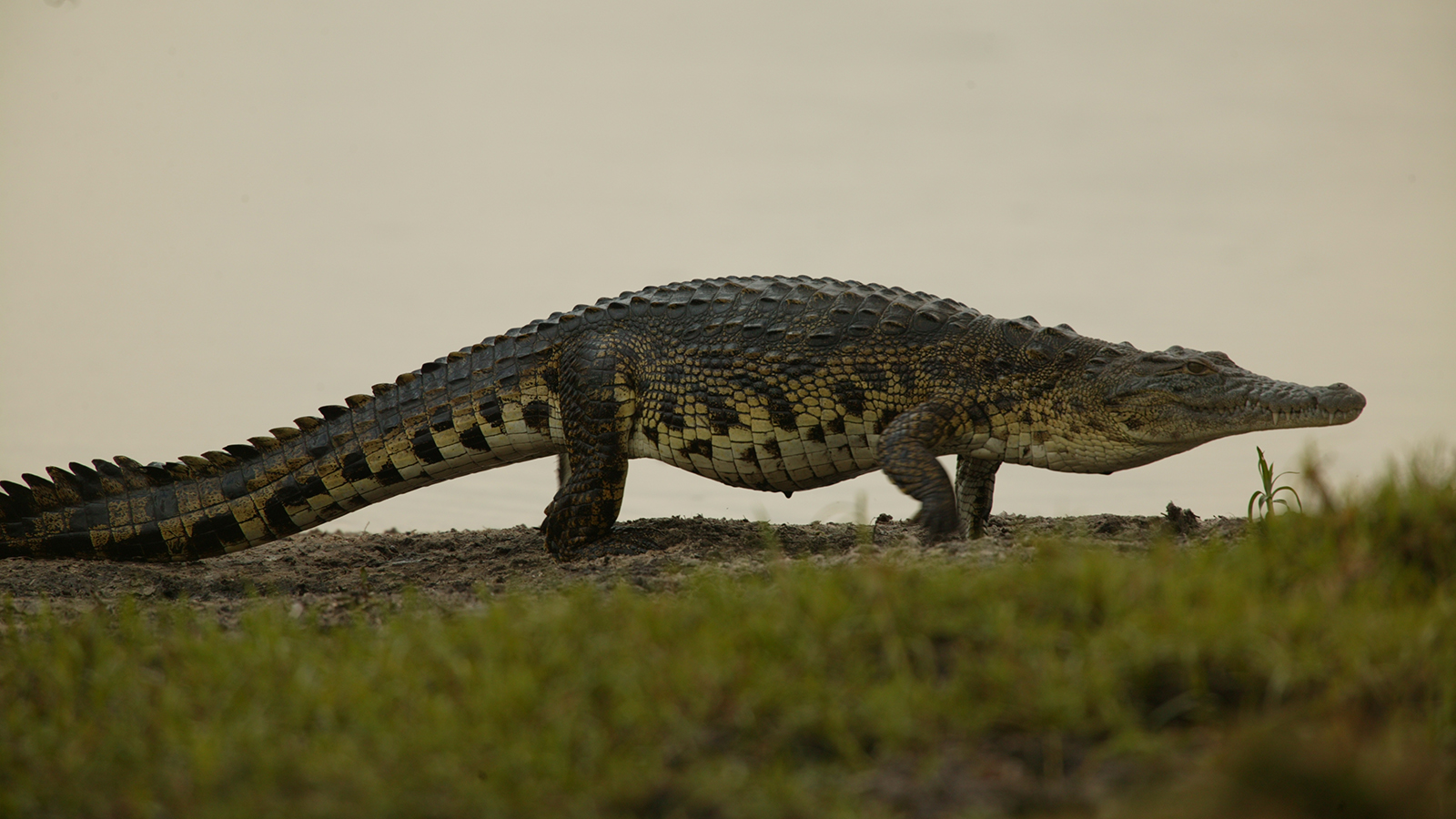 Nile Crocodile Drawing at GetDrawings.com | Free for personal use ...