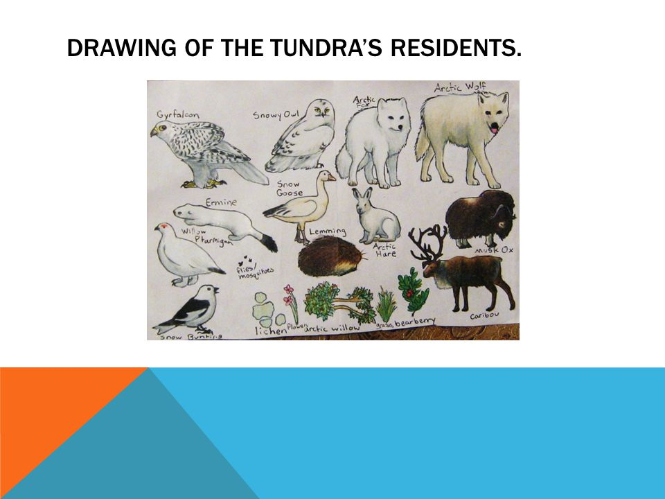 960x720 Tundra. Drawing Of Tundra's Residents. Located Around
