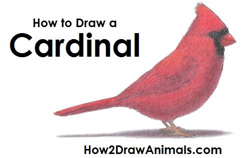 500x315 How To Draw A Cardinal