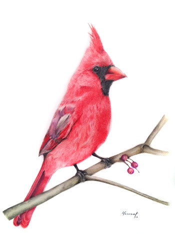 350x467 Original Prismacolor Drawing Northern Cardinal Drawing