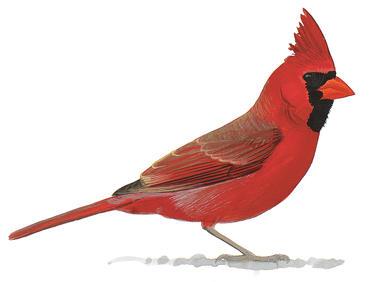 386x282 Reimagining The Northern Cardinal Audubon
