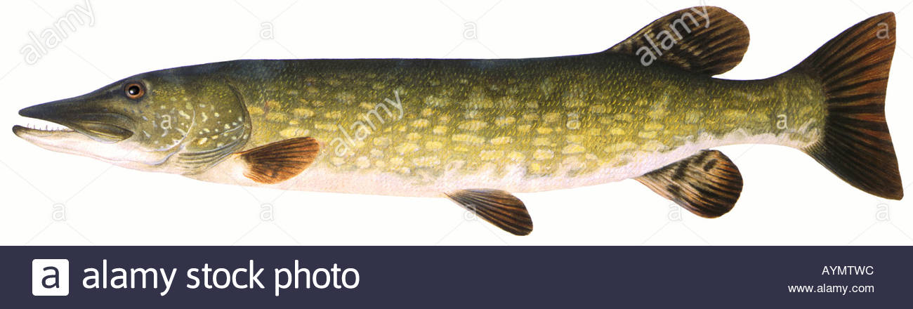 1300x440 Northern Pike (Esox Lucius), Drawing Stock Photo 9796251